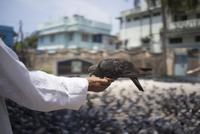 Priest feeding pigeons at a Jain temple. Fort Kochi, India