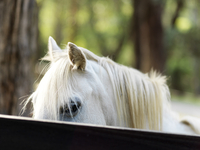 Close-up of white horse behind wooden fence in the countryside