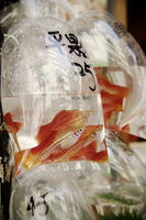 Goldfish in plastic bag at market. Hong Kong, China