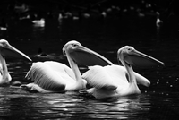 Pelicans on water. England, United Kingdom