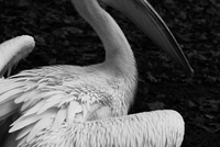 Side view of a pelican. England, United Kingdom