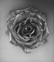 Overhead still life of rose