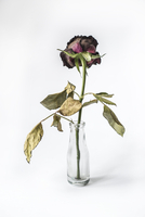Still life of dead rose in a vase