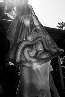 Large cobra snake in a bag. Thailand