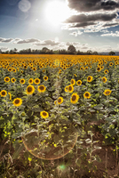 Sunflower fields with sun shining. France