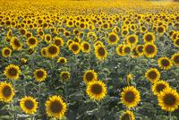 Sunflower field. France