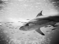 Shark attacking a swarm of fish
