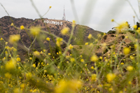 Low angle view of yellow foliage with Hollywood sign in the distance. Los Angeles, U.S.A