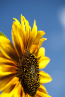 Close-up of sunflower against a blue summer sky