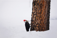 Woodpecker on the trunk of a pine tree during winter