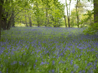 Forest floor full of English Bluebell flowers. Kew, London, England, United Kingdom