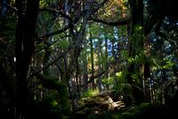 The Giant Tree of Oppara 20073001952| 写真素材・ストックフォト・画像・イラスト素材|アマナイメージズ