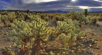 cholla cactus garden 20074000052  写真素材・ストックフォト・画像・イラスト素材 アマナイメージズ