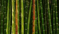 bamboo 20074000072| 写真素材・ストックフォト・画像・イラスト素材|アマナイメージズ