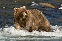 grizzly bear 20074000098| 写真素材・ストックフォト・画像・イラスト素材|アマナイメージズ