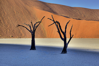 dead acacia trees in the desert
