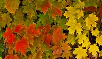 colorful leaves 20074000228  写真素材・ストックフォト・画像・イラスト素材 アマナイメージズ
