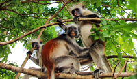 red colobus monkey on the three