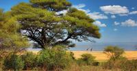 tree, lake, giraffes