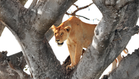 lion female on tree