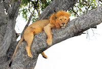 lion male on tree