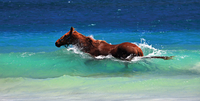 horse swimmning in sea