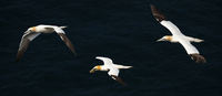 birds - Northern Gannet