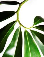 805_leafs063_p.tif