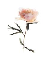 FLOWER peony 4bis.jpg 20075002038| 写真素材・ストックフォト・画像・イラスト素材|アマナイメージズ