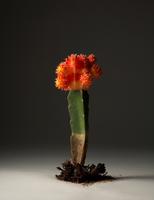 806_Cactus000066-p.tif 20075002588| 写真素材・ストックフォト・画像・イラスト素材|アマナイメージズ