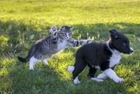 仔猫とボーダーコリーの子犬