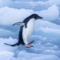 ジャンプするアデリーペンギン