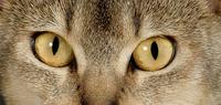 ネコの目のアップ アビシニアン