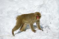 雪の上を歩くニホンザル 20082000050| 写真素材・ストックフォト・画像・イラスト素材|アマナイメージズ