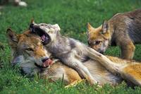 草の上に寝転がるタイリクオオカミの母子