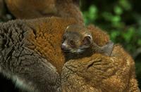 シロビタイキツネザルの母子 20082000082| 写真素材・ストックフォト・画像・イラスト素材|アマナイメージズ