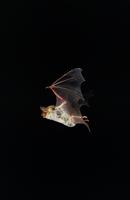 オオホオヒゲコウモリ