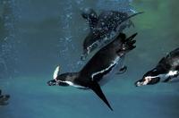 水中で魚を探すフンボルトペンギン