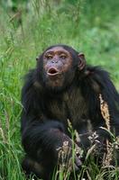 チンパンジーのメス