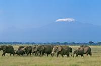 アフリカゾウの群れ 20082000246| 写真素材・ストックフォト・画像・イラスト素材|アマナイメージズ