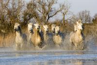 カマルグの馬 20082000253| 写真素材・ストックフォト・画像・イラスト素材|アマナイメージズ