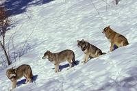 タイリクオオカミの群れ 20082000289| 写真素材・ストックフォト・画像・イラスト素材|アマナイメージズ