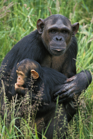 チンパンジーの母子 20082000329| 写真素材・ストックフォト・画像・イラスト素材|アマナイメージズ