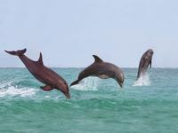 跳ぶハンドウイルカのグループ