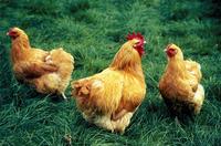 マラン鶏のつがい