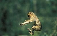 ジャンプするバーバリーマカク 20082000355| 写真素材・ストックフォト・画像・イラスト素材|アマナイメージズ