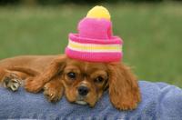 帽子をかぶるキャバリアの子犬