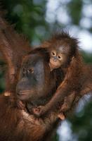 ボルネオオランウータンの母子 20082000385| 写真素材・ストックフォト・画像・イラスト素材|アマナイメージズ