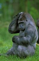 頭をかくヒガシローランドゴリラ 20082000392| 写真素材・ストックフォト・画像・イラスト素材|アマナイメージズ