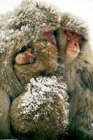 雪をかぶったニホンザル 20082000407| 写真素材・ストックフォト・画像・イラスト素材|アマナイメージズ